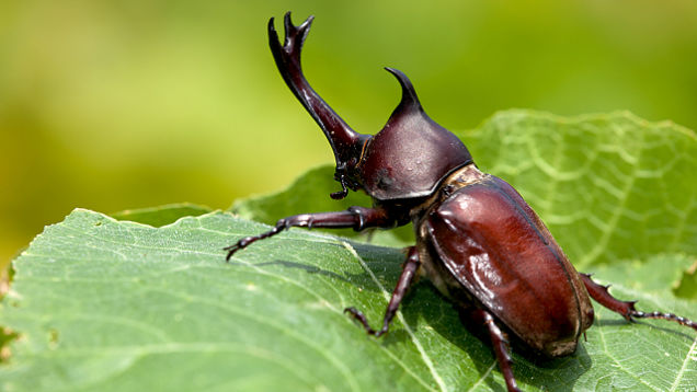 Rhinoceros-Beetle-Photograph-01